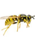 Arı & Yaban Arısı İlaçlama