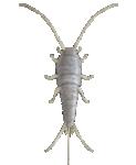 Gümüşcün Gümüş Böceği İlaçlama